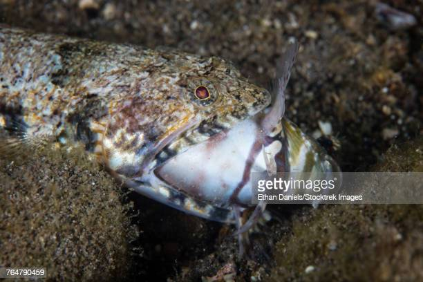 A lizardfish feeds on a large blenny on the seafloor.