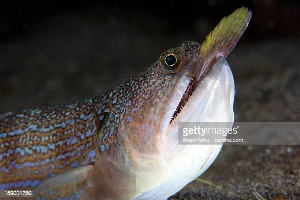 Lizardfish hunting