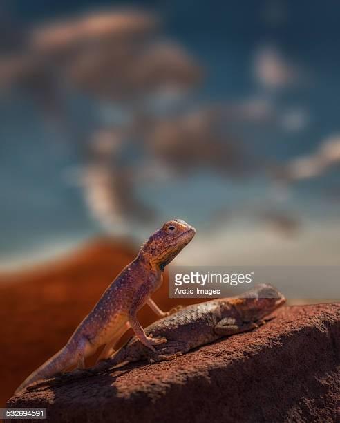 lizards mating - accoppiamento animale foto e immagini stock
