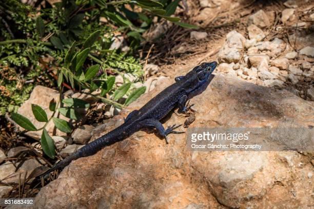 Lizards of the island of Cabrera