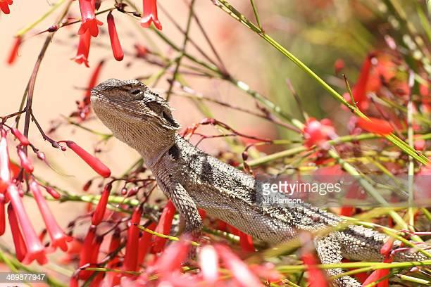 Lizard-Western-Bearded-Dragon