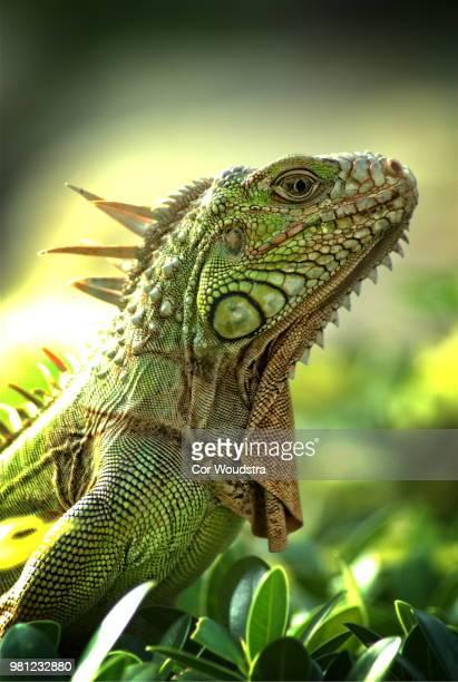 lizzard - iguana fotografías e imágenes de stock