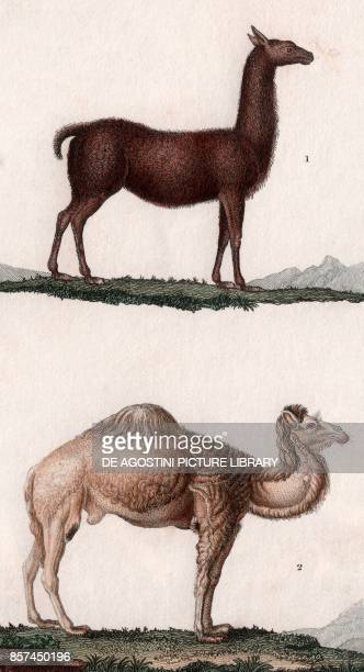 1 Llama 2 Dromedary colour copper engraving retouched in watercolour 9x15 cm from Dizionario delle scienze naturali compilato da vari professori del...