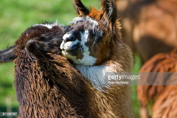 llama affection - ryan mcginnis stock photos and pictures