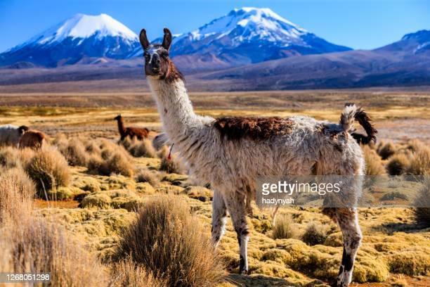 llama y volcán parinacota en el altiplano boliviano - los andes bolivianos fotografías e imágenes de stock