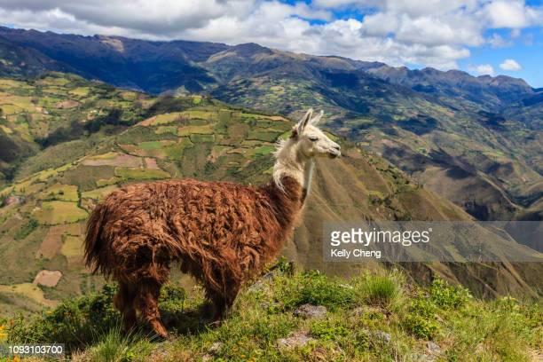 a llama at kuelap - llama animal fotografías e imágenes de stock