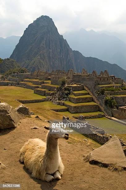 Llama at the ruins of Machu Picchu