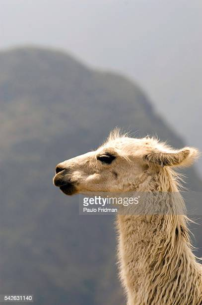 Llama at the ruins of Machu Picchu