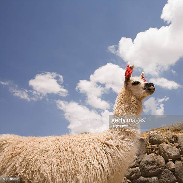 llama beneath blue sky - hugh sitton stock pictures, royalty-free photos & images