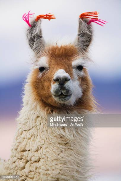llama, bolivia - lama stock pictures, royalty-free photos & images