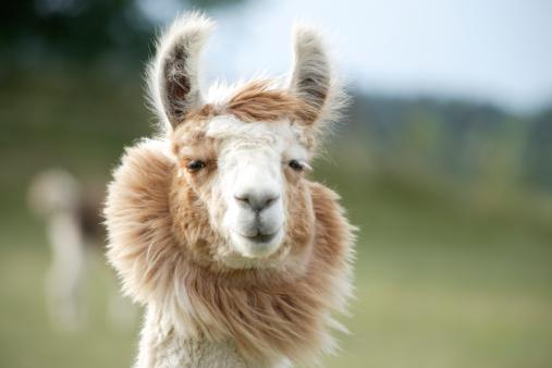 Llama close-up 147675590
