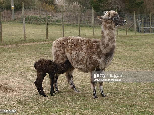 A Llama cria feeding from it's mother UK