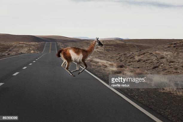 llama crossing a remote road - llama animal fotografías e imágenes de stock