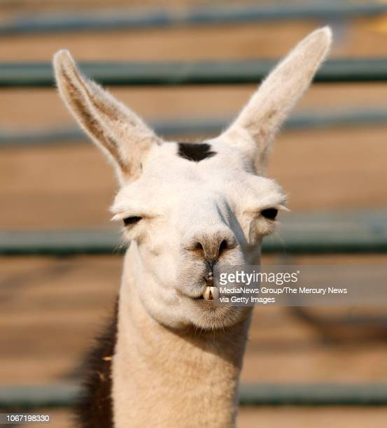 A llama displaced by the Camp Fire is seen in a corral at a large animal shelter at the Butte County Fair Grounds in Gridley Calif on Monday Nov 12...