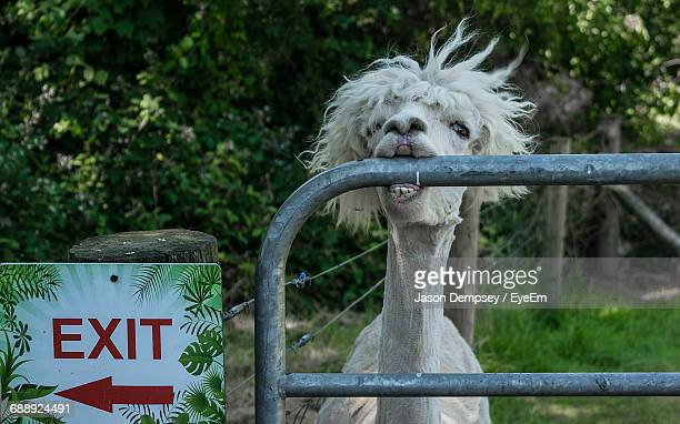 Llama Eating Metallic Railing By Exit Sign On Field