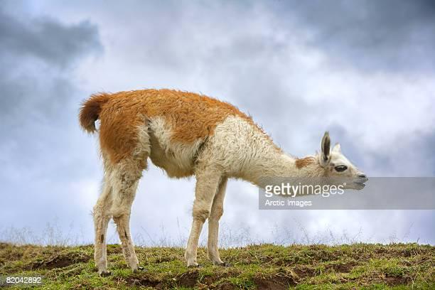 llama, (lamo pacos) ecuador - llama animal fotografías e imágenes de stock
