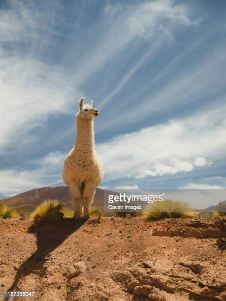 llama getting closer to humans for social connection. - llama stock pictures, royalty-free photos & images