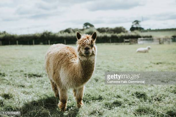 llama in a field - llama stock pictures, royalty-free photos & images
