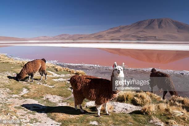 i lama in laguna colorata, bolivia - bolivia foto e immagini stock