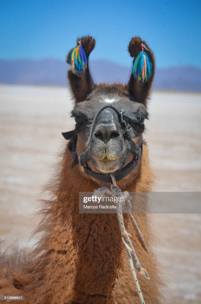Llama in Salinas Grandes, Jujuy Province Argentina. : Stock Photo