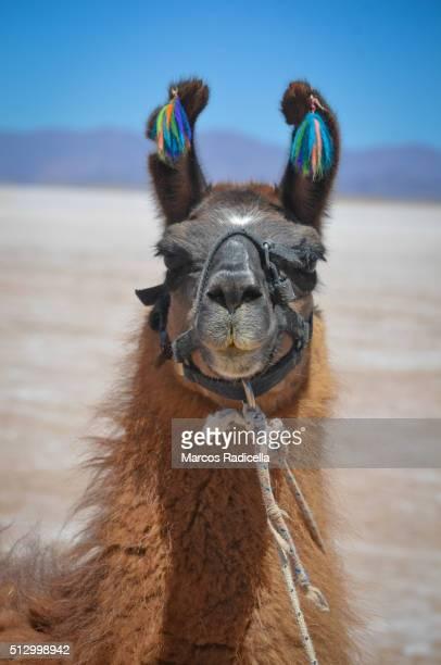 llama in salinas grandes, jujuy province argentina. - radicella stockfoto's en -beelden