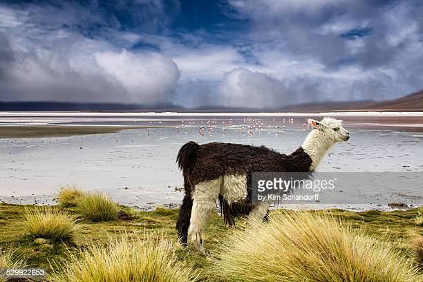Llama in the highland