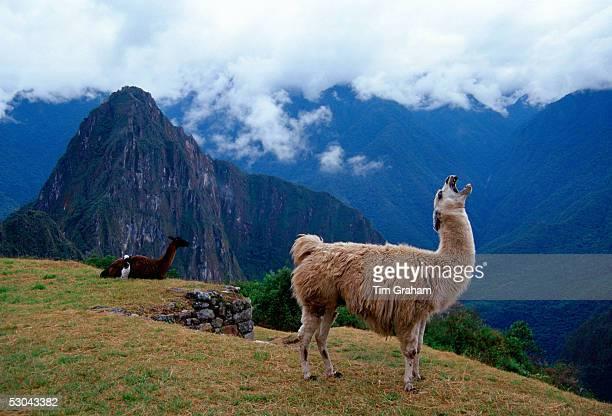 Llama Machu Picchu ruins of the Inca citadel discovered in 1911 in Peru South America