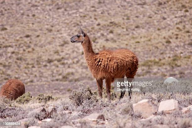 llama near arequipa, peru, south america - vista lateral stock pictures, royalty-free photos & images