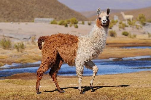Llama (Lama glama) near the Laguna Colorada, Bolivia. 1051777618