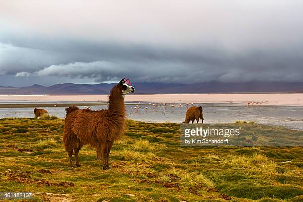llama on the altiplano - llama stock pictures, royalty-free photos & images