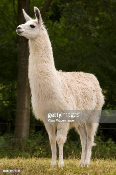 llama (llama glama), ostheim in the hassbergen mountains, lower franconia, bavaria, germany - llama animal fotografías e imágenes de stock