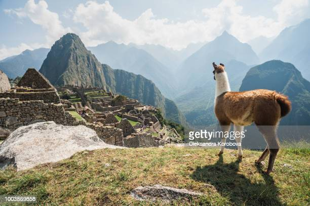 llama overlooking ruins of the ancient city of machu picchu, peru. - südamerika stock-fotos und bilder