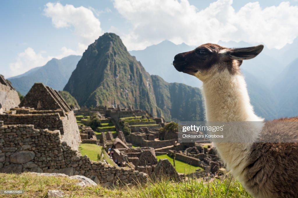 Llama overlooking ruins of the ancient city of Machu Picchu, Peru. : Stock Photo