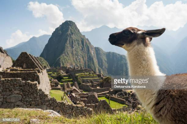 llama overlooking ruins of the ancient city of machu picchu, peru. - istock stock pictures, royalty-free photos & images