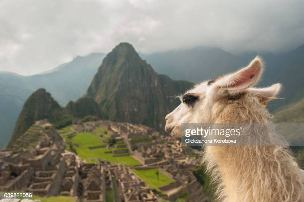 Llama overlooking ruins of the ancient city of Machu Picchu, Peru.