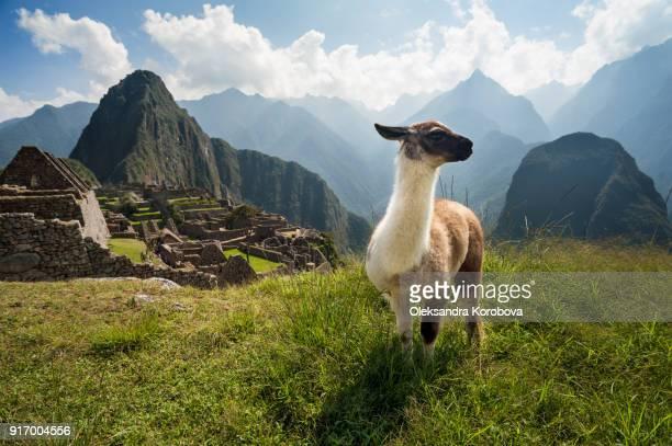 llama overlooking ruins of the ancient city of machu picchu, peru. - paisajes de peru fotografías e imágenes de stock