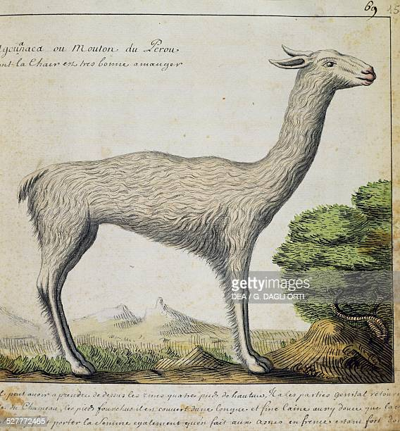 Llama Peru watercolour from the log book by Jacques Gouin de Beauchesne captain of the Compagnie royale de la Mer du Sud from 1698 to 1701 France...