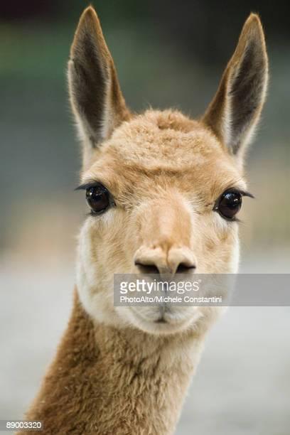 llama (lama glama) - llama stock photos and pictures