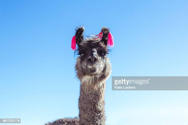 llama - lama stock pictures, royalty-free photos & images