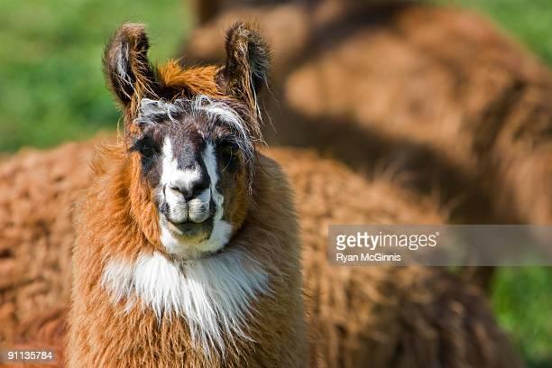 llama portrait - ryan mcginnis stock photos and pictures