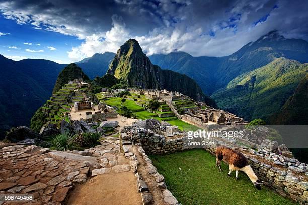 llama standing by stone steps leading up from old ruins of machu picchu, peru, spring evening - provinz cusco stock-fotos und bilder