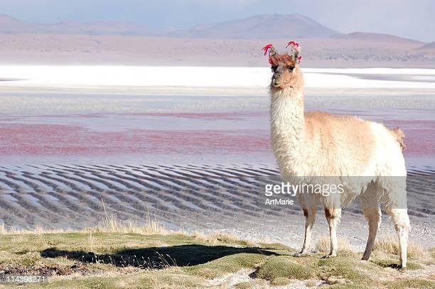 arreo de llama de pie cerca de una laguna, bolivia - llama animal fotografías e imágenes de stock