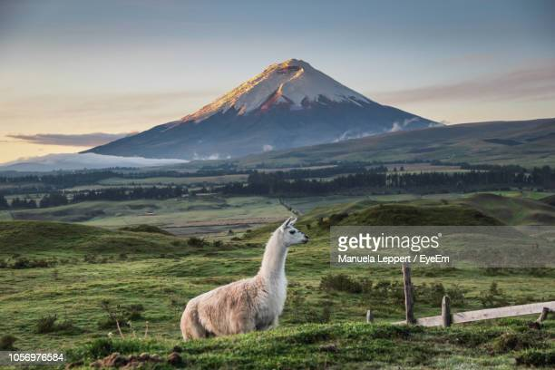 llama standing on field against mountains during sunset - ecuador fotografías e imágenes de stock