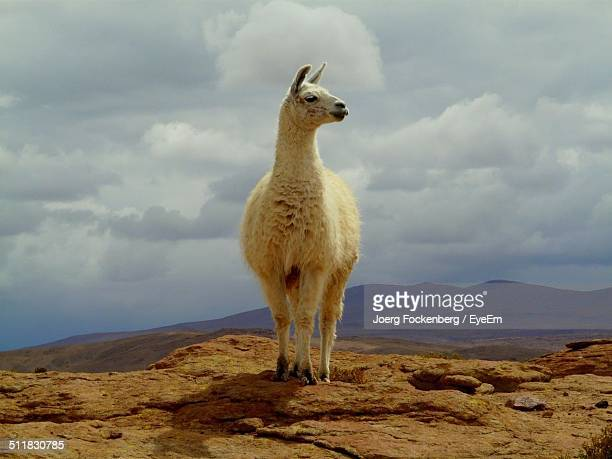 llama standing on rock - lama stock pictures, royalty-free photos & images