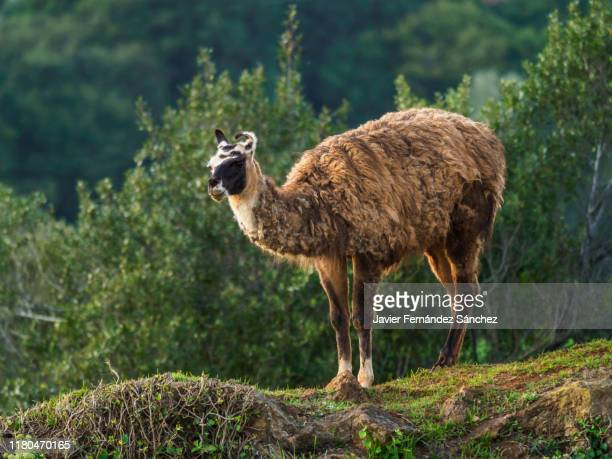 a llama standing out from the bottom of the forest. lama glama. - llama animal fotografías e imágenes de stock