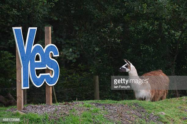Llama stands next to a Yes campaign sign in a field on the Scottish borders on September 10 2014 in Jedburgh Scotland The Scottish referendum takes...