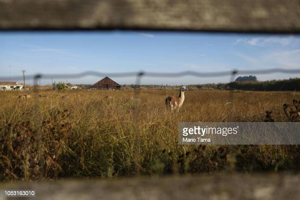 Llama stands on a farm in California's 10th congressional district on October 24, 2018 in Modesto, California. Agriculture is the main economic...