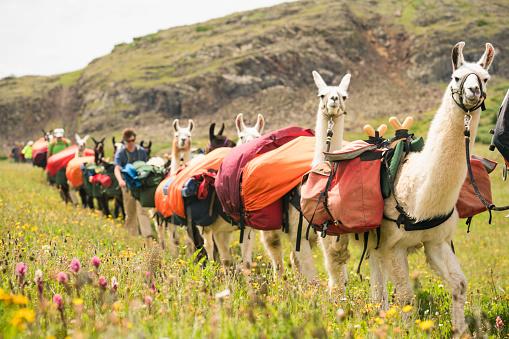 Llama train and hikers walk through grassy meadow in San Juan Mountains 1032069012