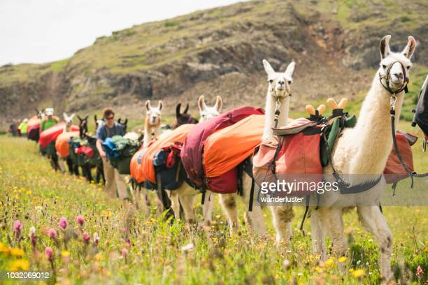 llama train and hikers walk through grassy meadow in san juan mountains - lama stock pictures, royalty-free photos & images