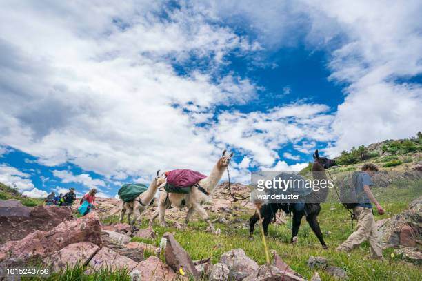 llama trekking in san juan mountains - lama stock pictures, royalty-free photos & images